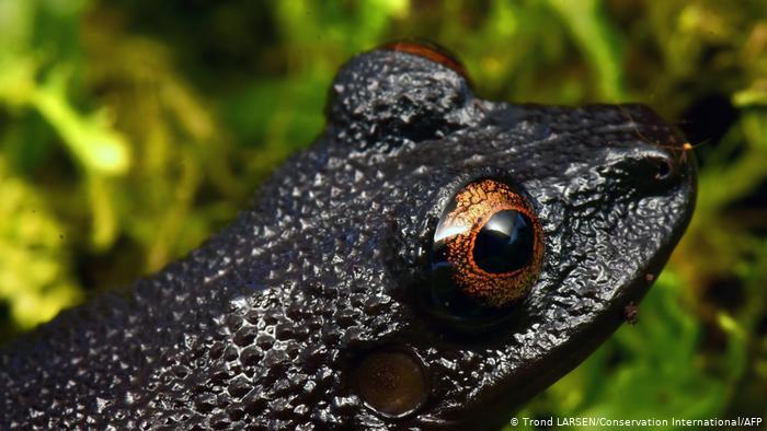 20 new species - devil-eye frog