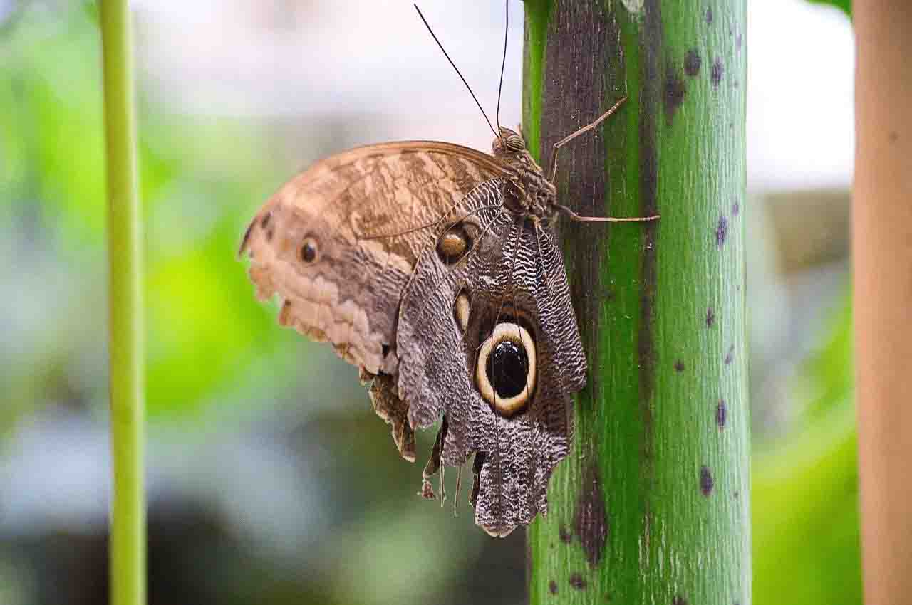 20 new species - Satyr Butterfly