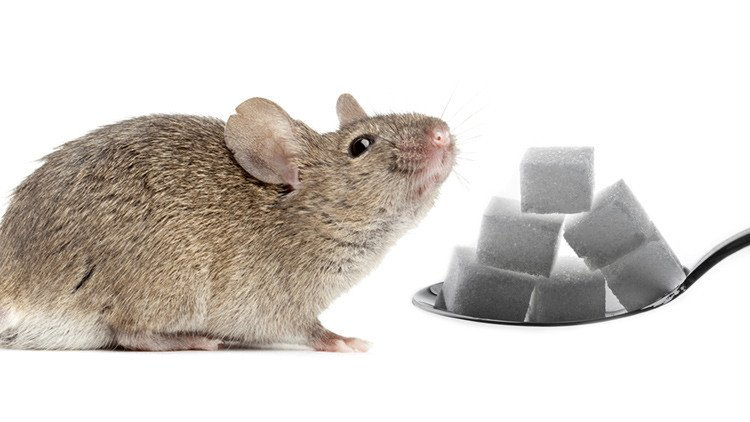 Experiments with rats and sugar help to understand addictions