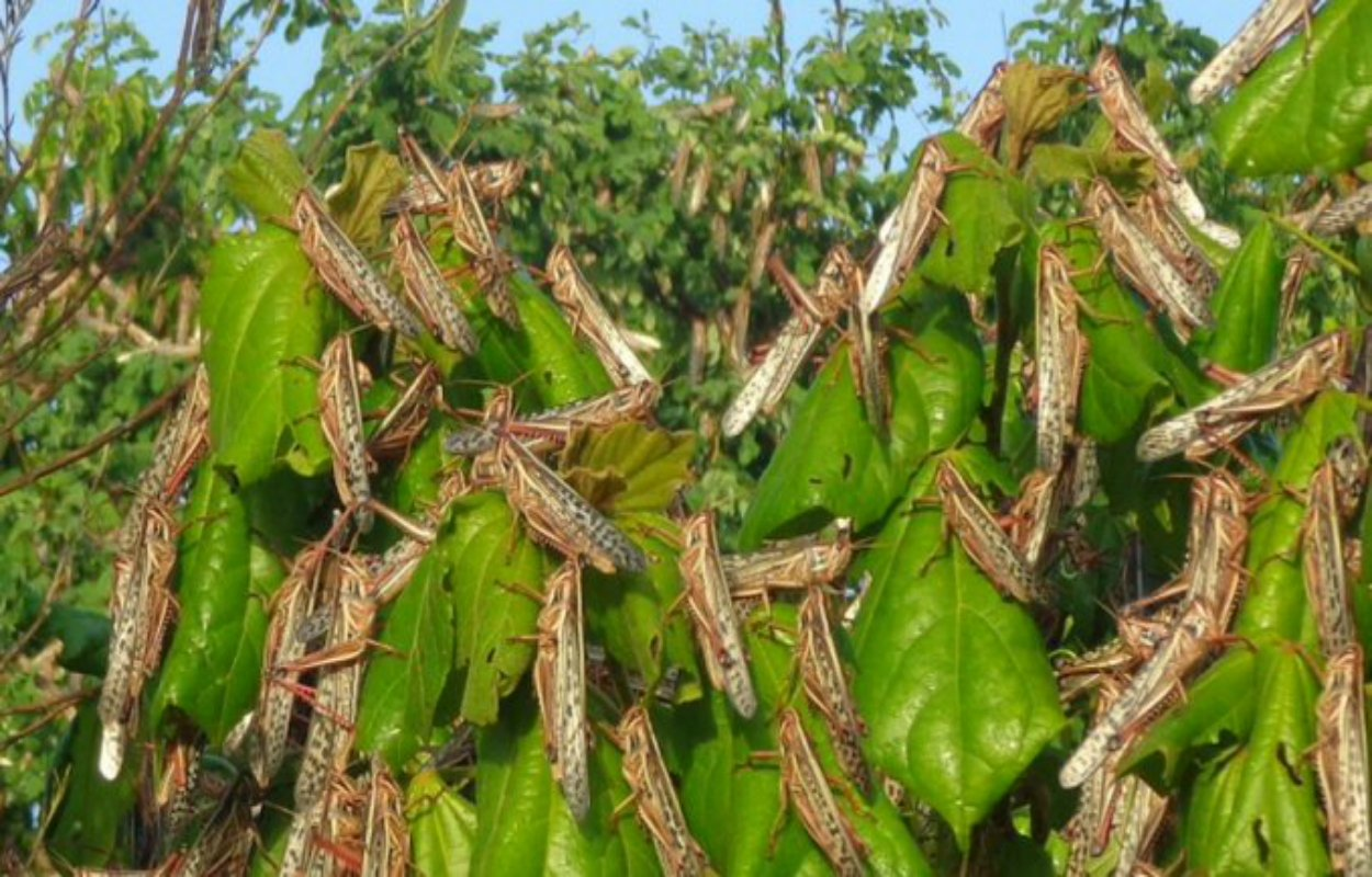 Biological control was used thousands of years ago to protect plants from pests.