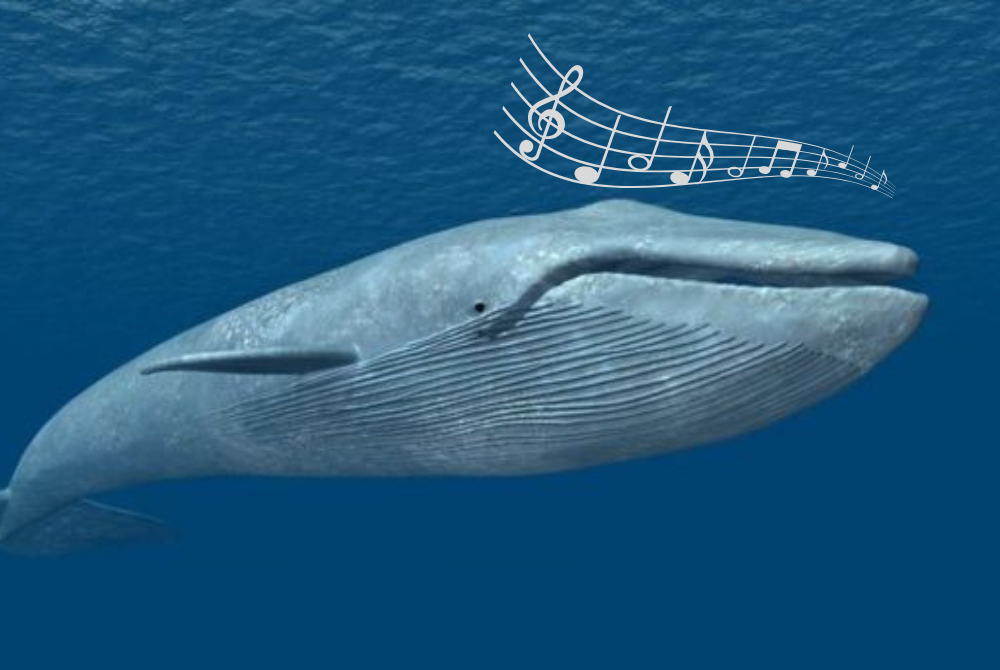 A unique song reveals a previously unidentified population of blue whales.