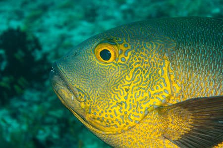 The midnight snapper is the oldest fish on coral reefs.
