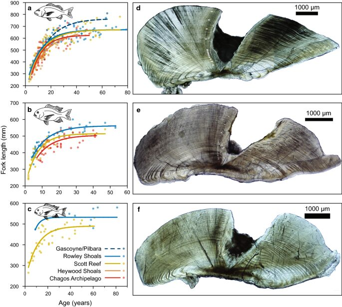 The age of the oldest fish in coral reefs is evidenced by its bones.