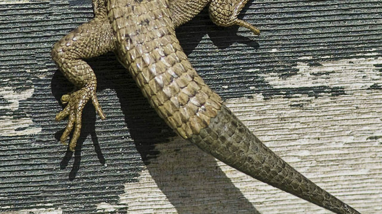 Lizards have this ability, which has been extensively studied by scientists.