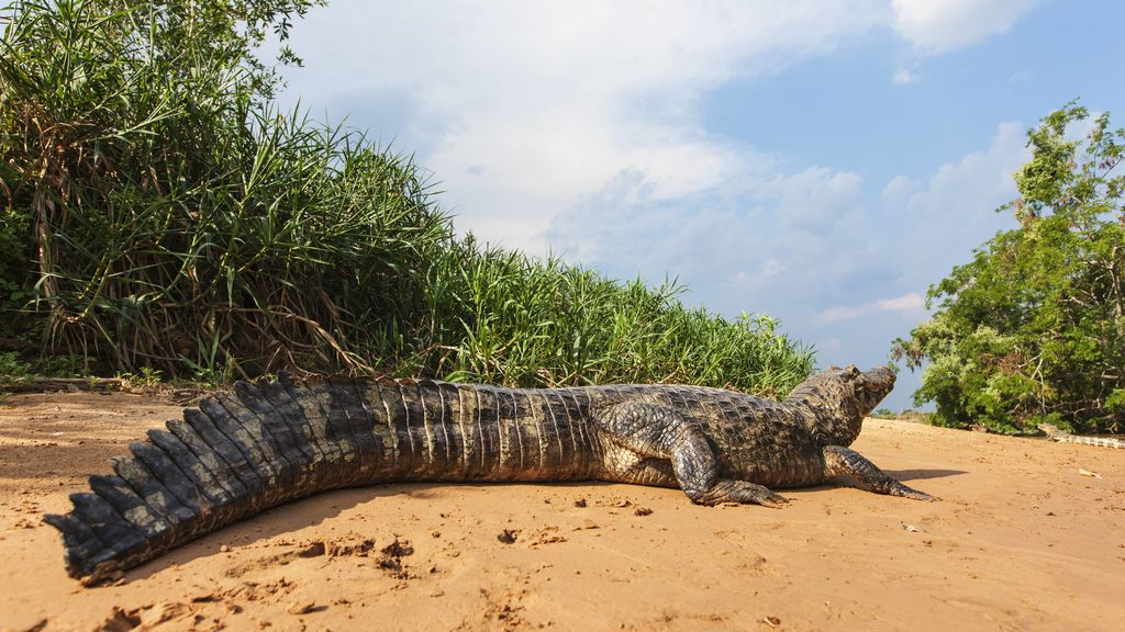 Alligators, like lizards, regenerate their tails.