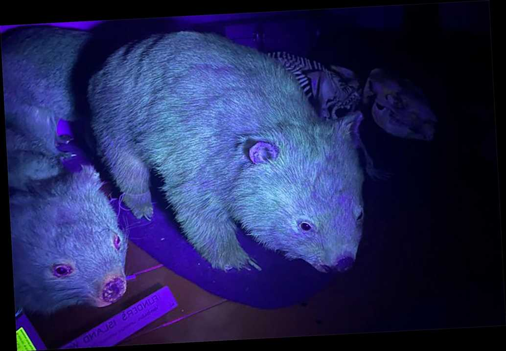Mammals glowing in the dark are more numerous than previously thought.