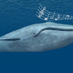 A unique song reveals a population of whales