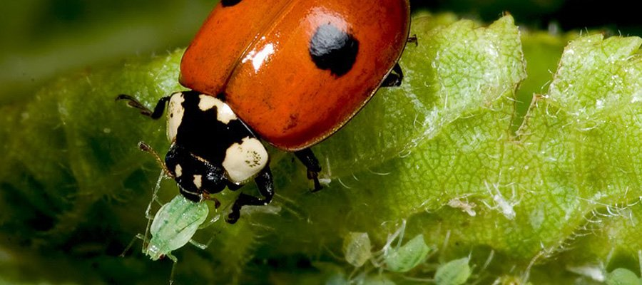 When humans introduce new species into ecosystems, as is the case with ladybirds and aphids.