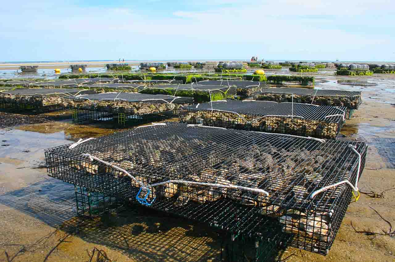 Aquaculture industry, oysters