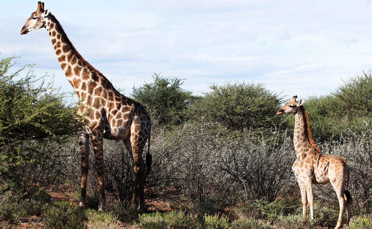 The mystery of the dwarf giraffes began when they discovered adult specimens that were half the size.