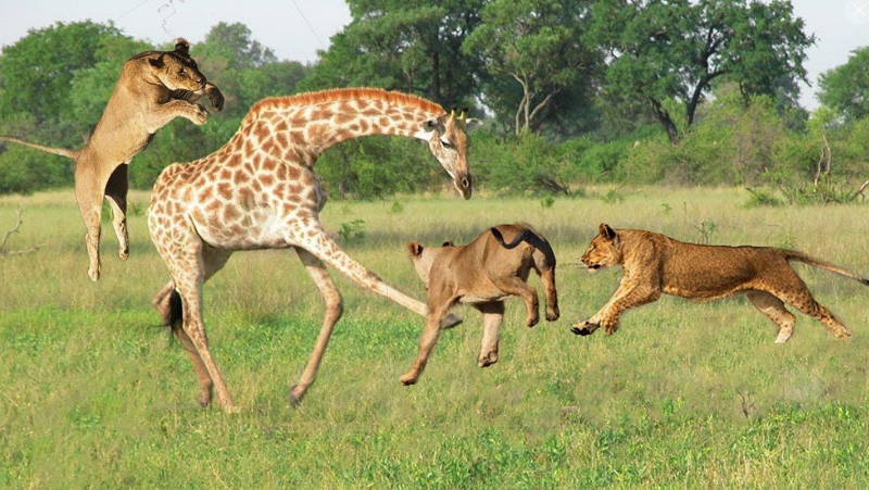 These giraffes would lose their ability to defend themselves against predators.