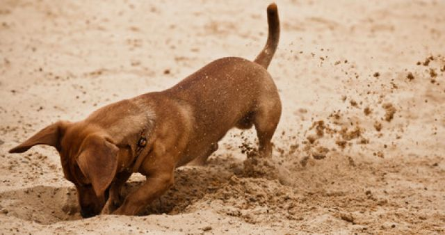 Why do dogs bury things?  His old instinct explains it.