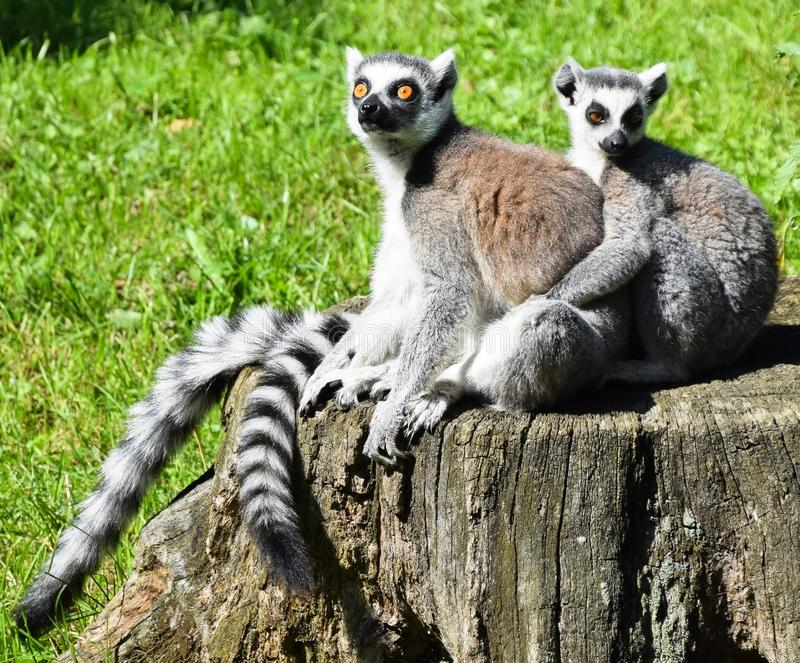 Lemurs are an example of animal loyalty.  You spend a large part of your life with a partner.