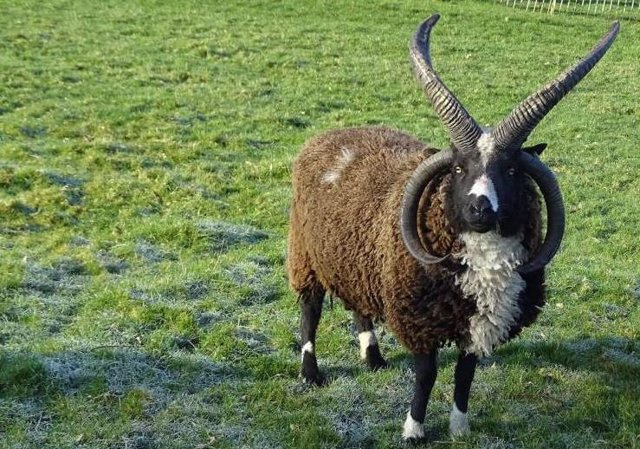 The secret of the four-horned goats has its origins in a specific gene.