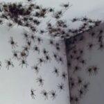 The spider invasion in Sydney