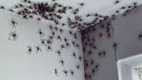 The spider invasion in Sydney is a phenomenon that may scare some.