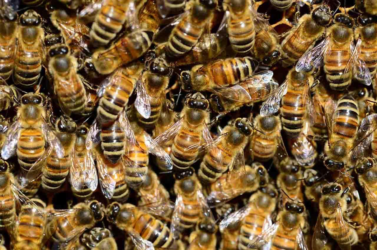 Honey producing bees