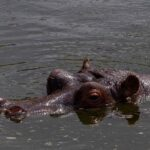 Cocaine Hippos - Should They Euthanized?
