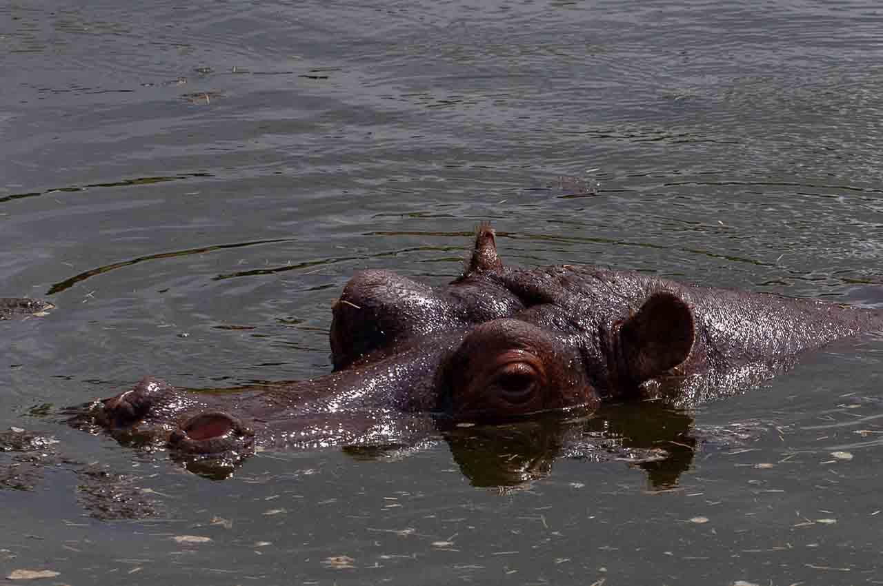 Cocaine hippos