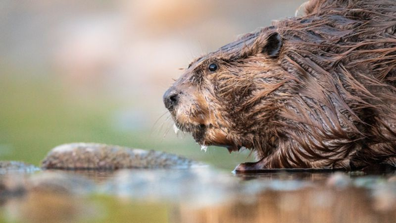 One of the most damaging invasive species in South America is the beaver.