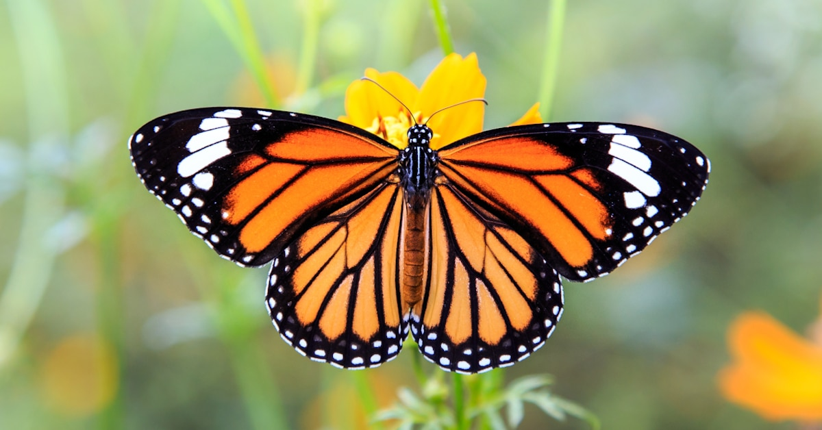 The monarch butterfly also uses this knowledge.