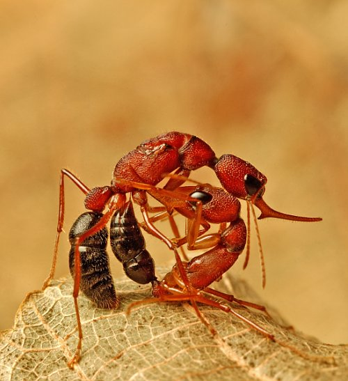 The ants fight among themselves for a new queen.