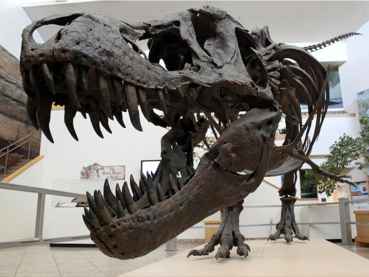 The discovery of the remains of several tyrannosaurs in the same locations is a clue.