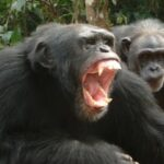 How shouting helps us communicate