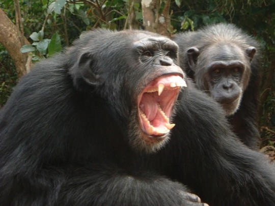 Knowing how shouting helps us communicate explains our evolutionary ability.