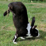Rabbits walking on their front legs
