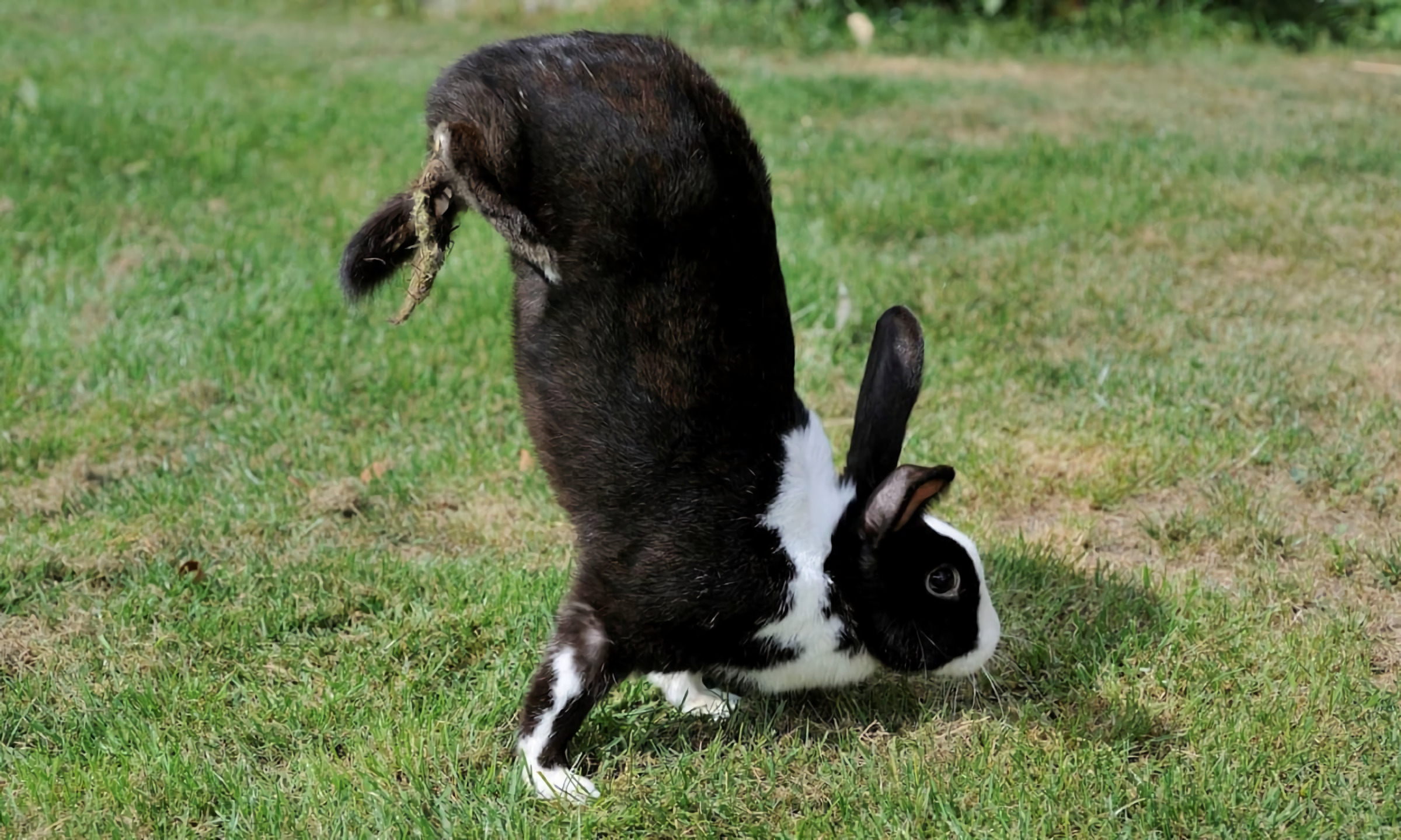 Rabbits that walk on their front legs look like circus acrobats.