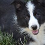 The border collie, the surprising and intelligent dog that makes a great companion