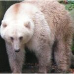 The hybrid bear between polar and grizzly