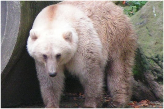 The hybrid ice grizzly bear increases its presence in the wild.