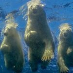 The photographer who swam with polar bears