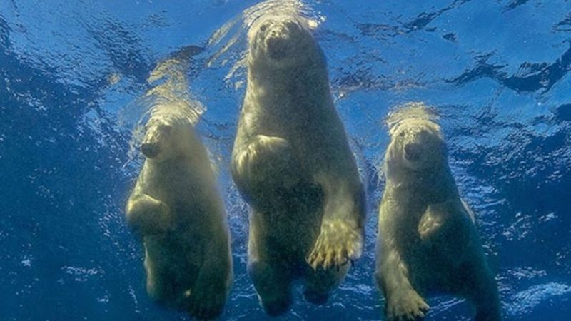 The photographer who swam with polar bears got this great picture.