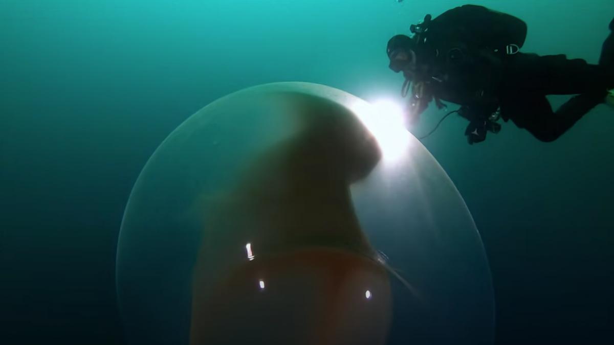 Los extraños globos flotantes del mar ya tienen explicación.