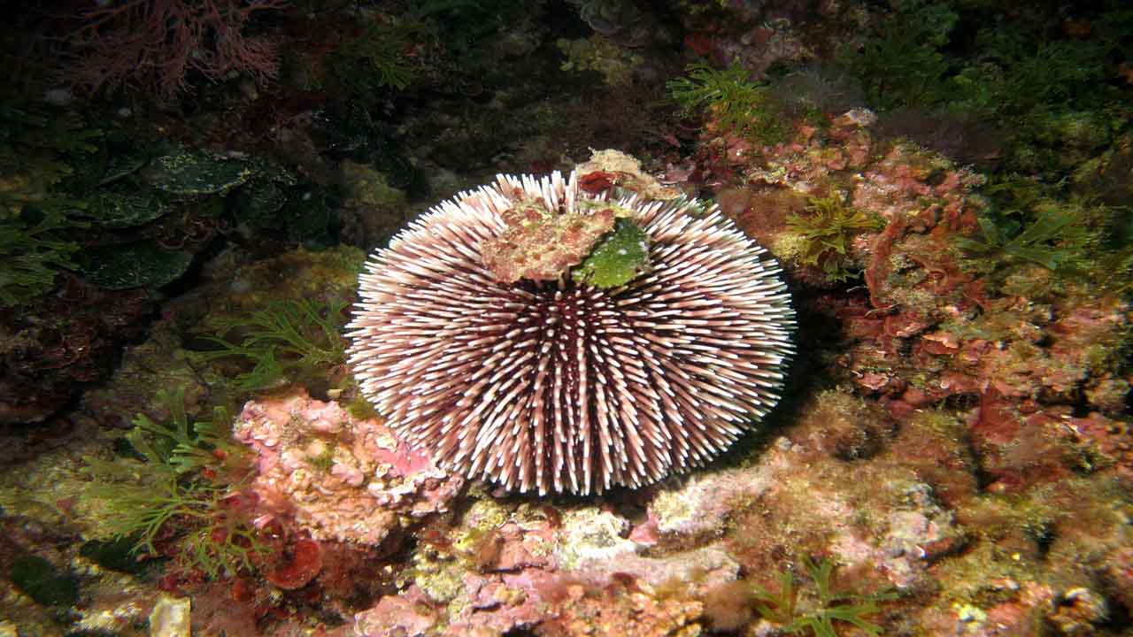 The sea urchin eats seaweed