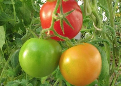 This would make it possible to manage ripening times as needed.