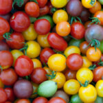 Change in ripeness and color of tomatoes