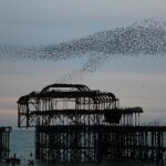 How starlings became a pest