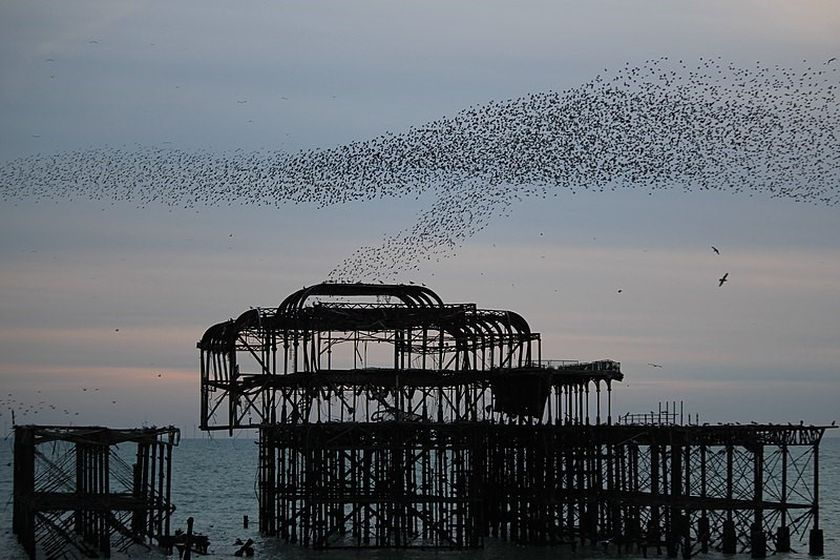 How did starlings become a pest?  And what did Shakespeare have to do with it?