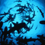 Sharks are guided by the magnetic field