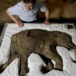 The baby mammoth that stayed almost intact