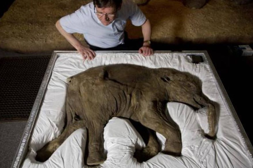 The almost intact baby mammoth travels in a suitcase adapted for its body.