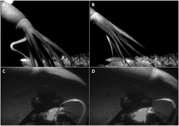 The giant squid recorded on video.