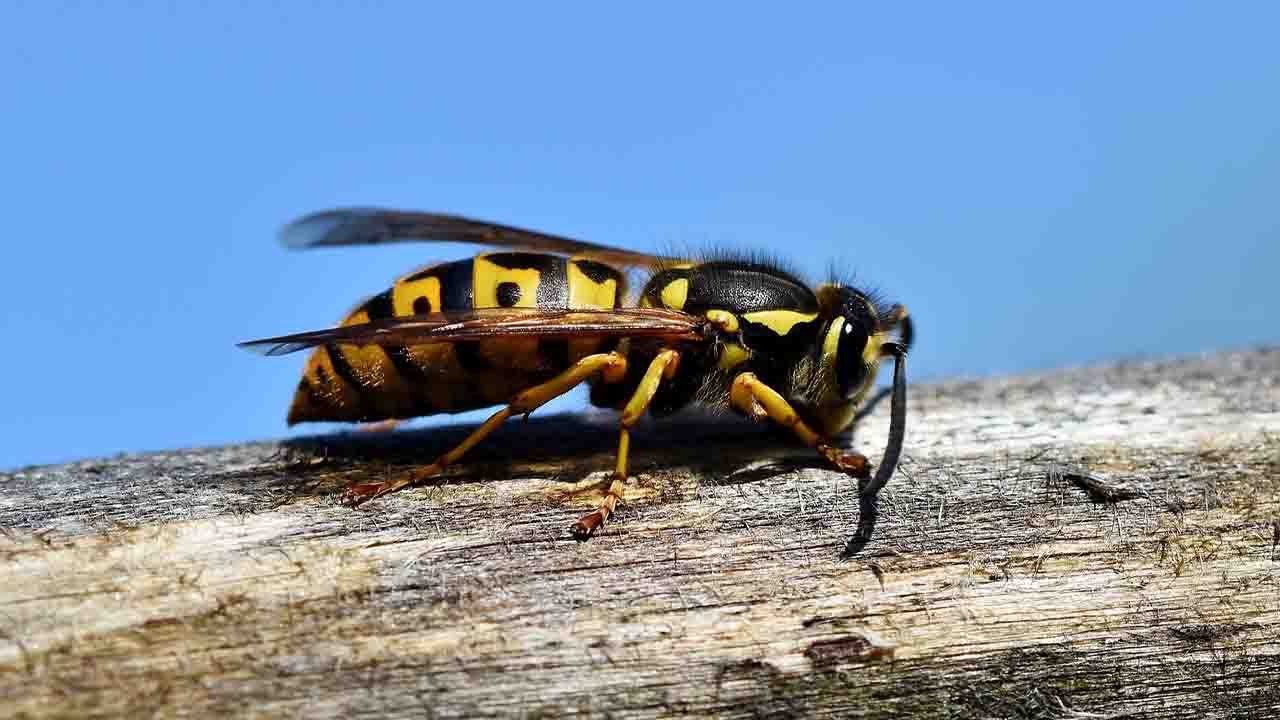 Wasp for pest control