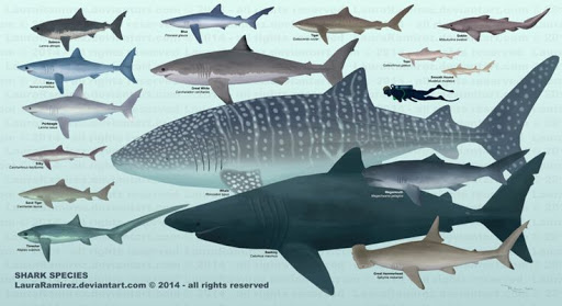 After that the number of shark species decreased significantly.