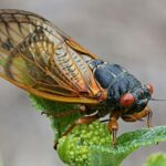 The invasion of the cicadas in the United States is approaching