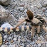 Spiders that eat large snakes